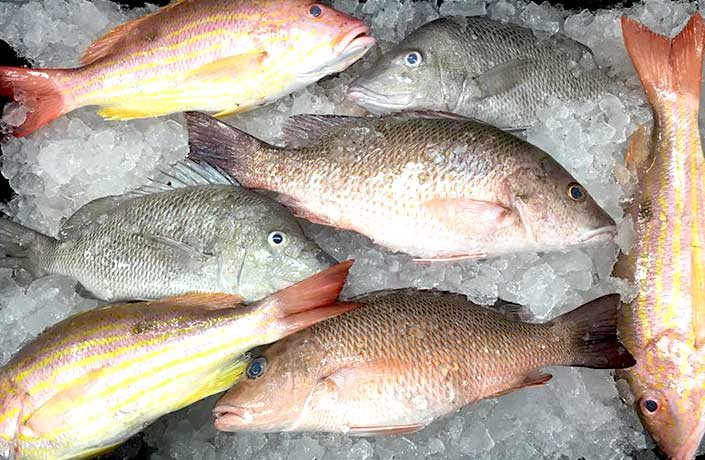 Red Fish,Snapper